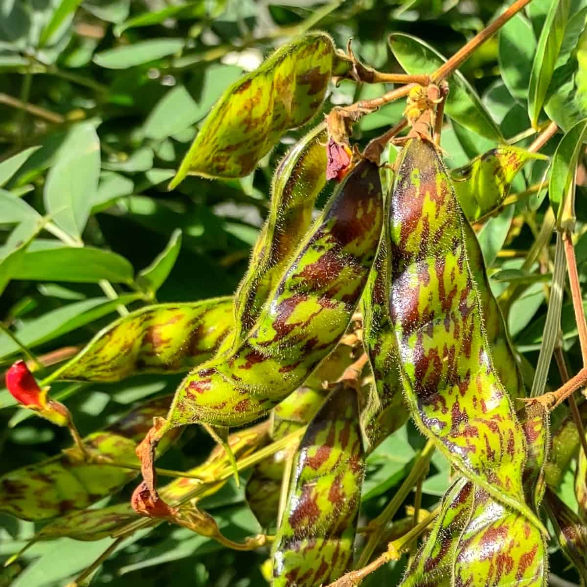 What are pigeon peas pigeon pea pods on the pigeon pea plant