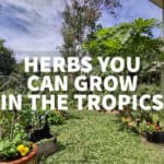 herbs you can grow in the tropics pots containers ground soil